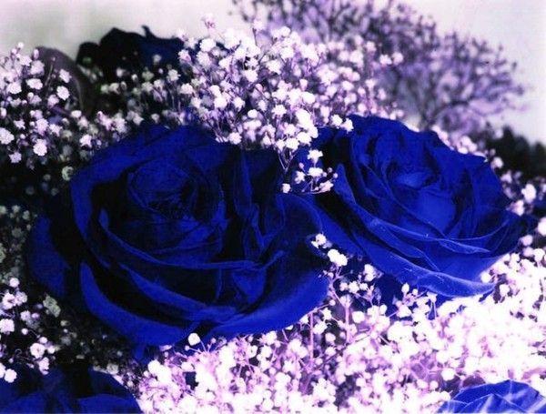 синие розы картинки с днем рождения